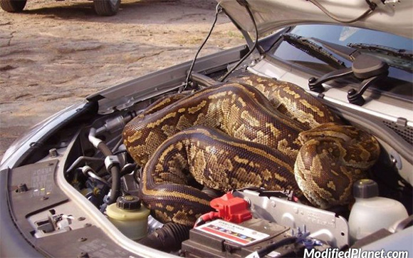 Boa Constrictor Inside The Engine Bay